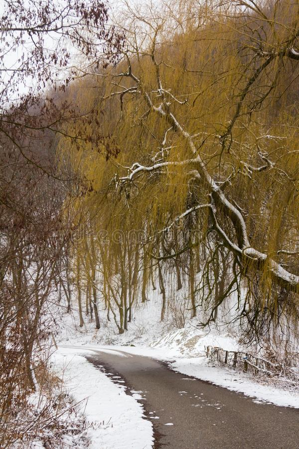 Winter forest. And snow in a cloudy foggy day photo royalty free stock photo