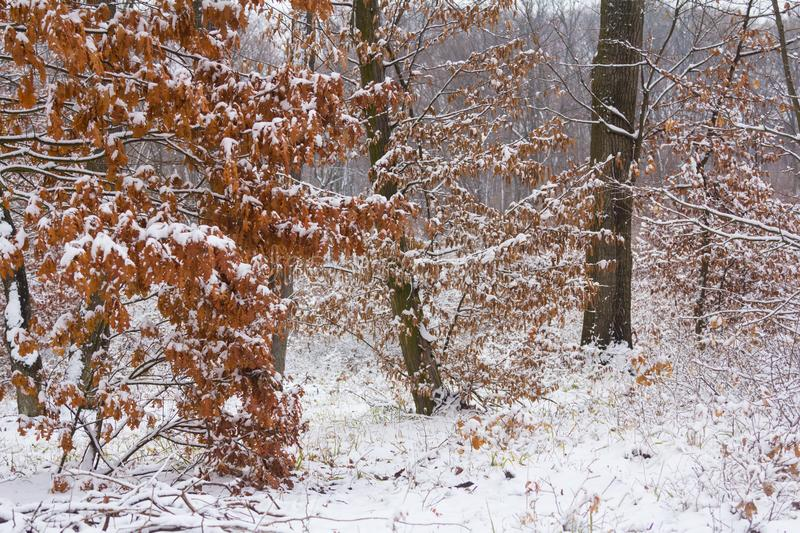 Winter forest. And snow in a cloudy foggy day photo royalty free stock photography