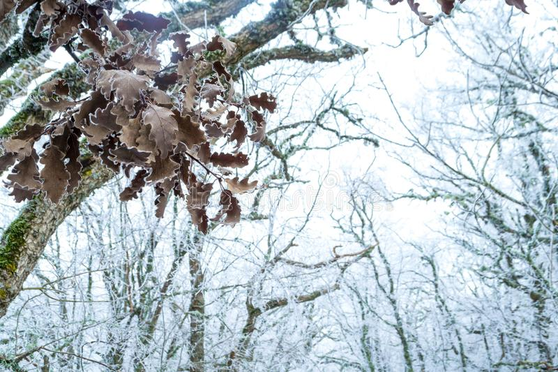 Winter forest. Winter ice in the snow, forest, landscape, background, nature, white, tree, cold, scene, frost, beautiful, season, outdoor, branch, day, mountain stock photos