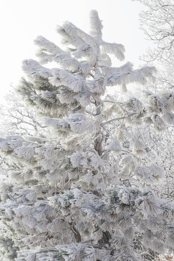 Winter forest. Winter ice in the snow, forest, landscape, background, nature, white, tree, cold, scene, frost, beautiful, season, outdoor, branch, day, mountain royalty free stock image