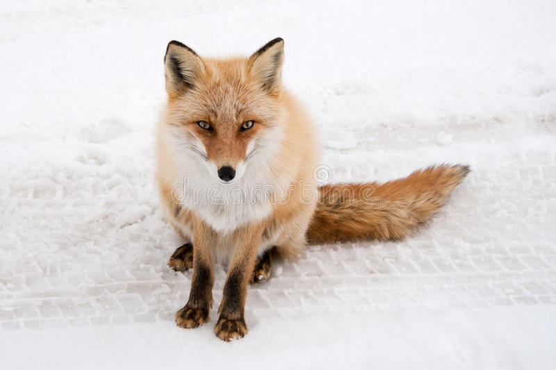 Winter fox royalty free stock photography