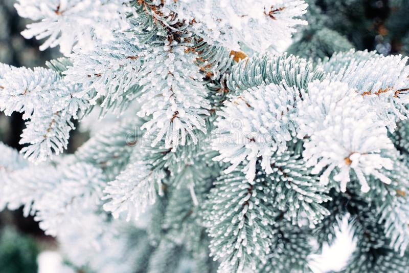 Winter frost Christmas evergreen tree background. Ice covered blue spruce branch close up. Frosen branch of fir tree covered with royalty free stock photos