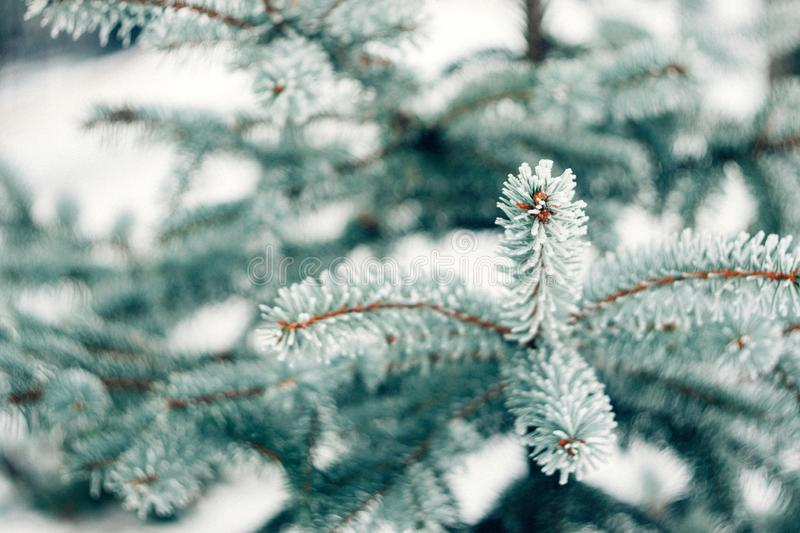 Winter frost Christmas evergreen tree background. Ice covered blue spruce branch close up. Frosen branch of fir tree covered with stock photos