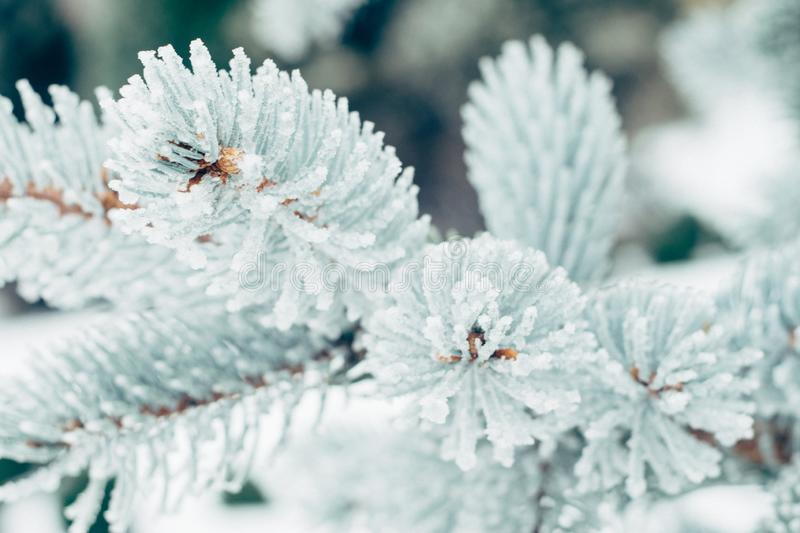 Winter frost Christmas evergreen tree background. Ice covered blue spruce branch close up. Frosen branch of fir tree covered with royalty free stock photo