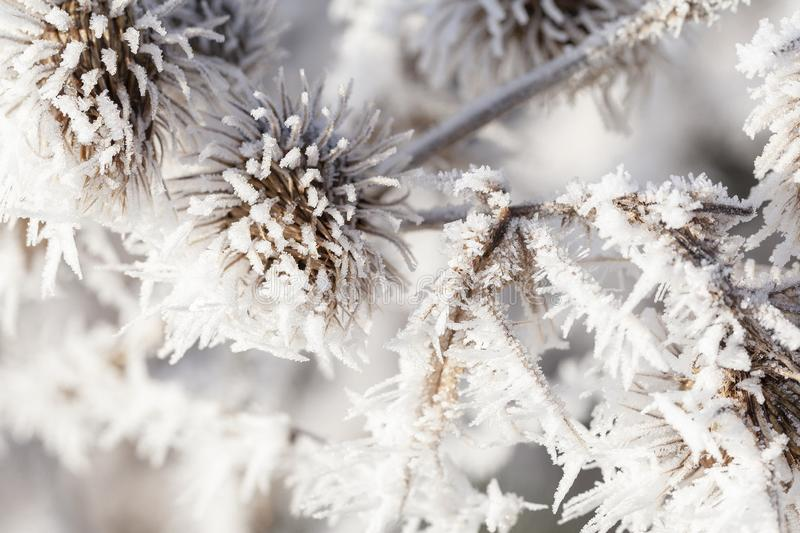 Winter frost on a garden thistle close up. Thistle in winter covered in long ice crystals from freezing fog. Macro close up of frost on a garden plant stock images