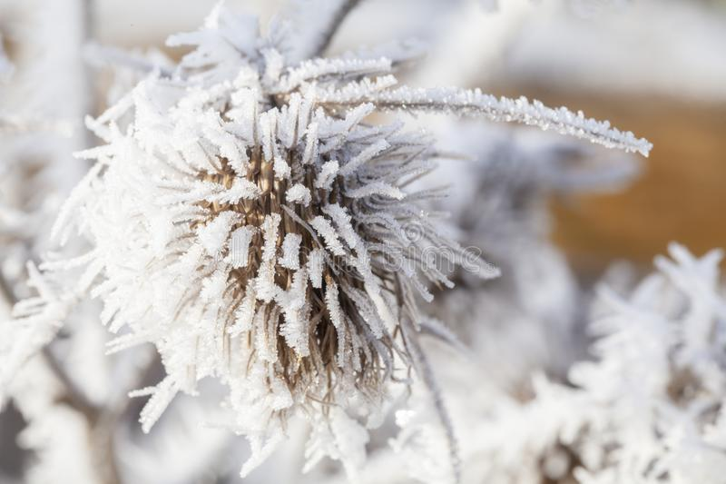 Winter frost on a garden thistle. Thistle in winter covered in long ice crystals from freezing fog. Macro close up of frost on a garden plant royalty free stock image