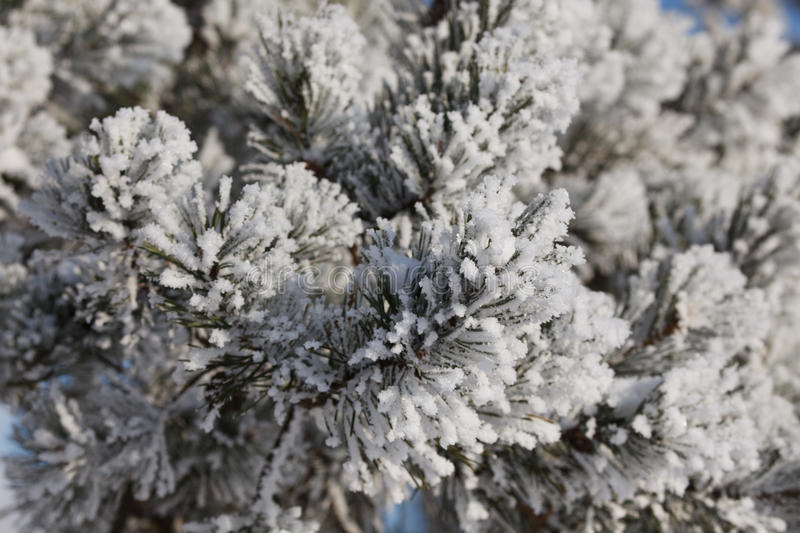 Winter frost on spruce tree