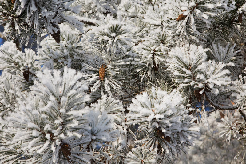 Download Winter Frost On Spruce Tree Stock Photo - Image of close, frame: 12568684