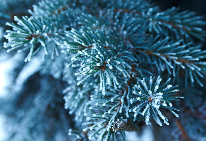 Download Winter Frost On Spruce Tree Stock Photo - Image: 29514612