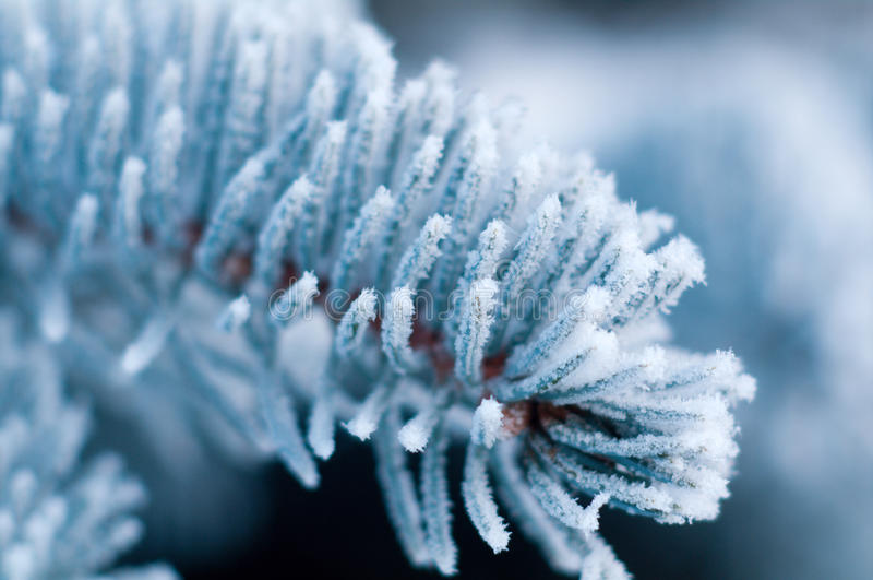 Download Winter Frost On Spruce Tree Close-up Stock Photos - Image: 17250983