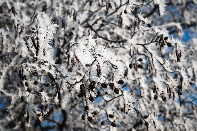 Winter Frost on a tree. Morning frost on a tree stock photos