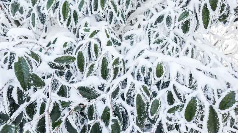 Winter frozen green leaves, texture, background. ,Frozen leaves in the snow, white snow and green leaves royalty free stock images