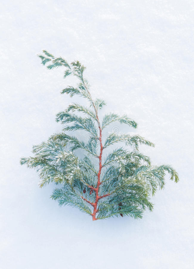 Winter - frozen juniper brach on natural snow background stock photography