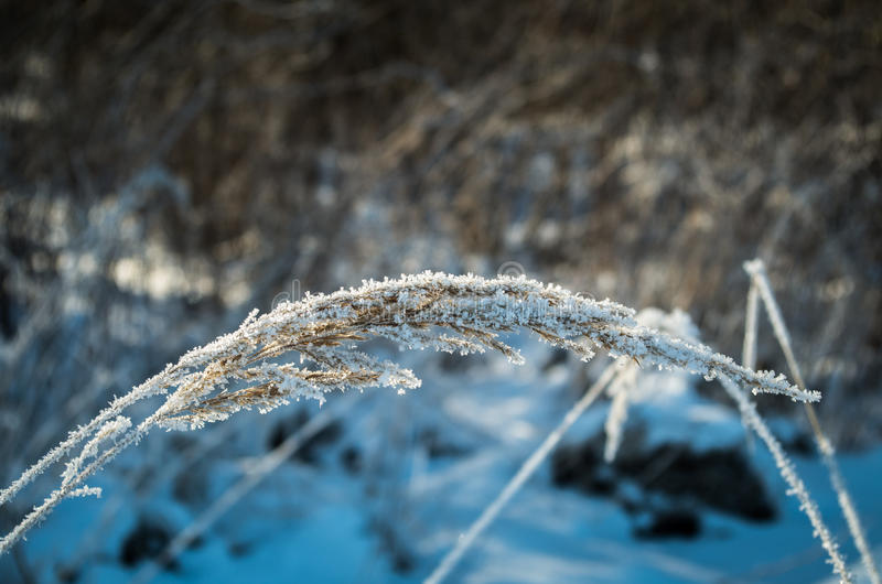 Winter frozen plant. On meadow royalty free stock photo