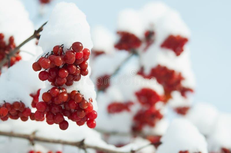 Winter frozen viburnum. Under snow background stock photography