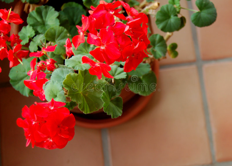 Download Winter Geraniums Royalty Free Stock Photos - Image: 3983318