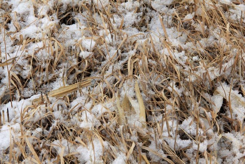 Winter grass royalty free stock photo