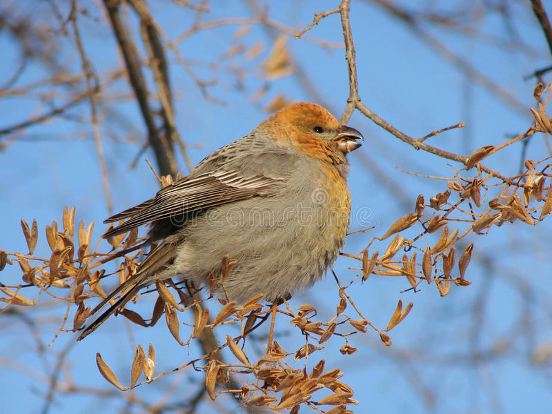 Download Winter guest stock photo. Image of bird, branch, solar - 10413766