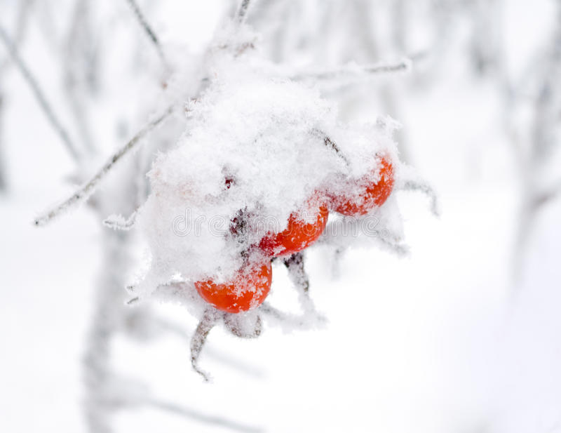 Winter hips stock images