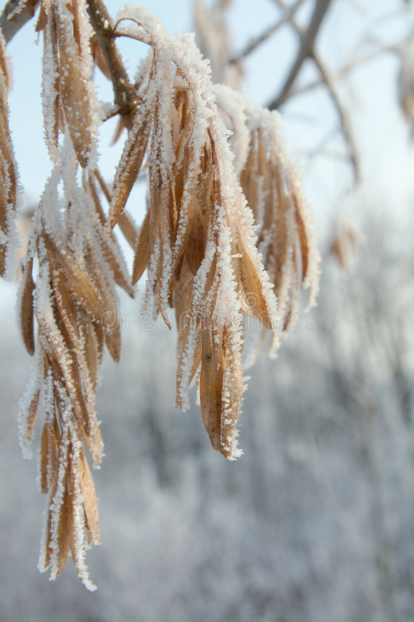 Free Winter Hoar-frost Leaves Royalty Free Stock Images - 7174559
