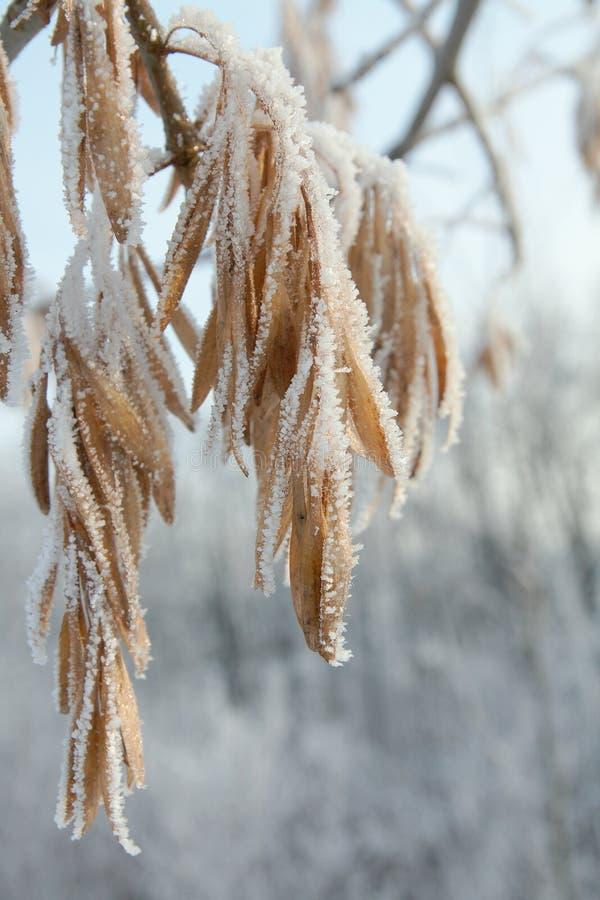 Winter Hoar-frostblätter lizenzfreie stockbilder