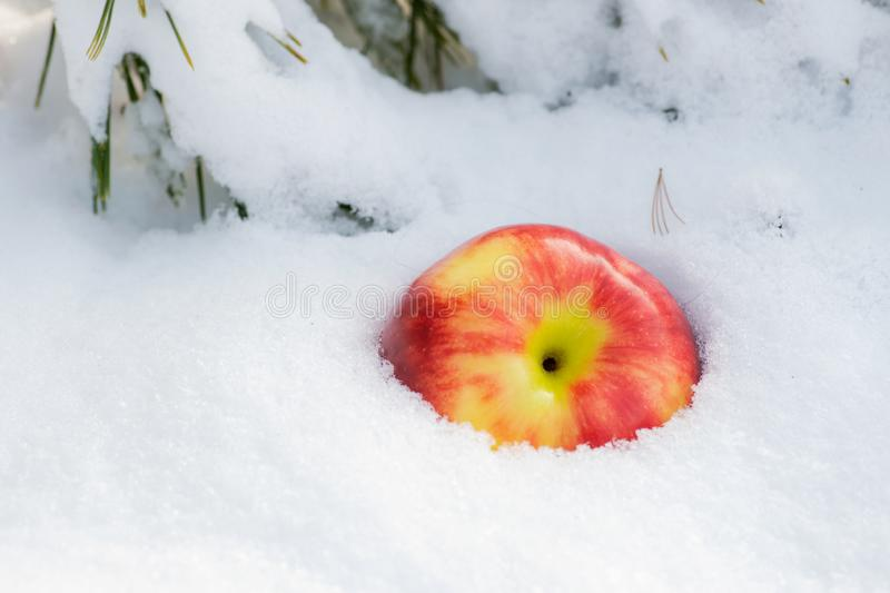 Winter holiday concept: ripe organic jonagold apple in snow and frozen snow covered pine tree twig in forest royalty free stock photography