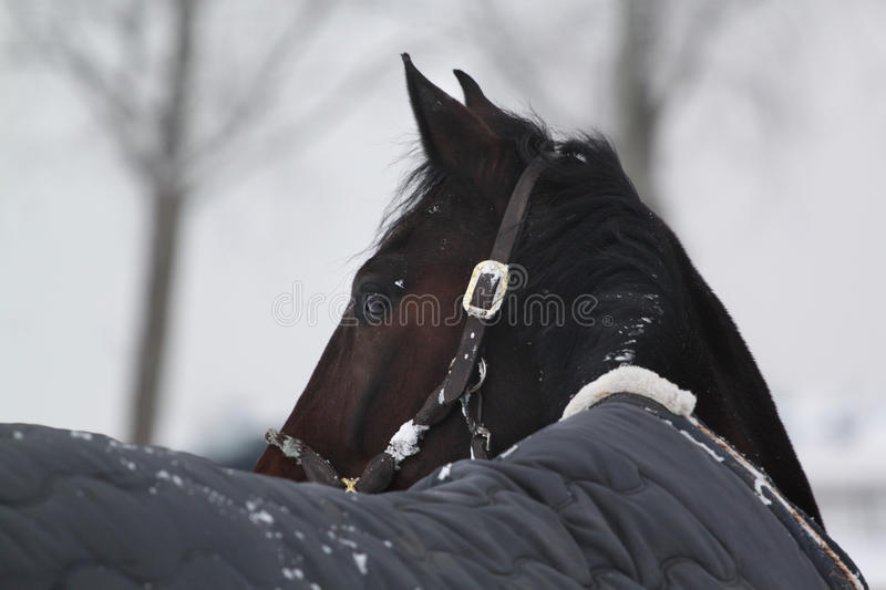 Winter horse looking back royalty free stock photography