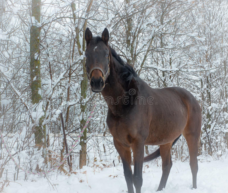 Download Winter Horse stock photo. Image of cold, animal, field - 36706874