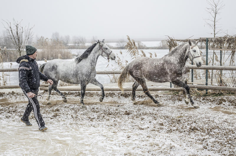 Winter horse training. Horse trainer does a slow warmup with his horses in snowy winter time Photo taken on: January, 2016