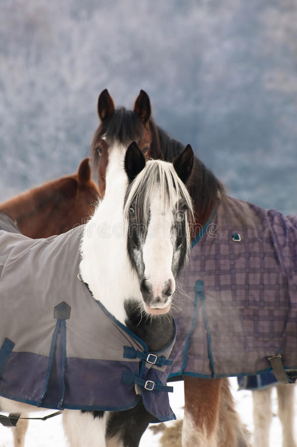 Download Winter horses stock image. Image of pony, livery, mammals - 12398705