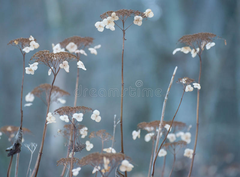 Winter-Hortensie stockfotografie