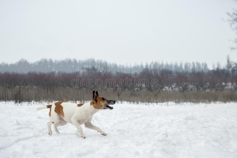 Winter hunting. а dog goes on the trail, aggressively tuned.  stock photos
