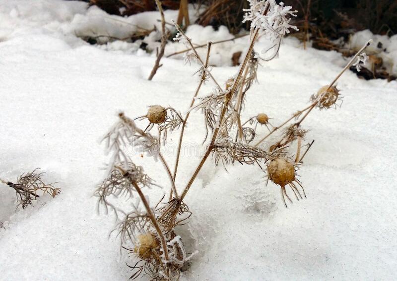 Winter, Ice-covered flowers on a snow-covered field. Plants in frost, nature background. Winter landscape, scene. Ice-covered flowers on a snow-covered field stock photography