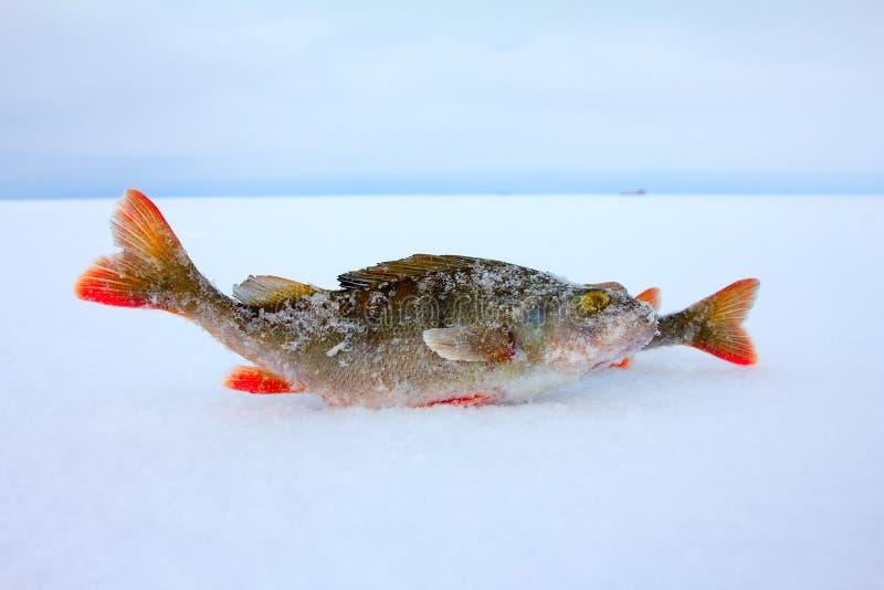 Winter ice fishing perch stock image