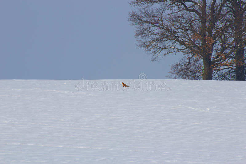 Download Winter Impressions With Fox Stock Image - Image: 29503901