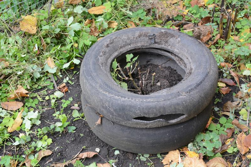 Winter insulation and protection for garden roses bush with peat, soil and old car tires. Close up royalty free stock photos