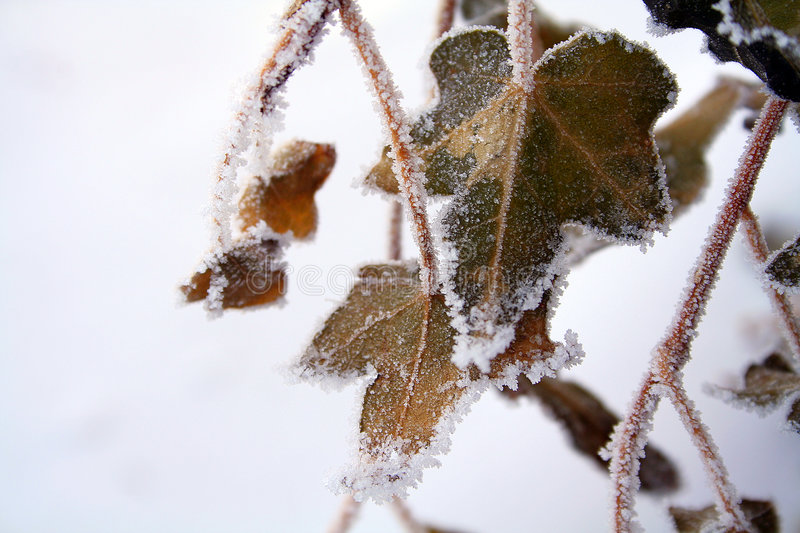 Winter ivy. Frozen english ivy in snow stock images