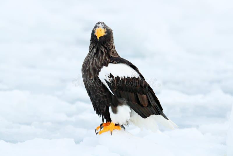 Winter Japan with snow. Beautiful Steller`s sea eagle, Haliaeetus pelagicus, flying bird of prey, with blue sea water, Hokkaido, J. Apan royalty free stock images