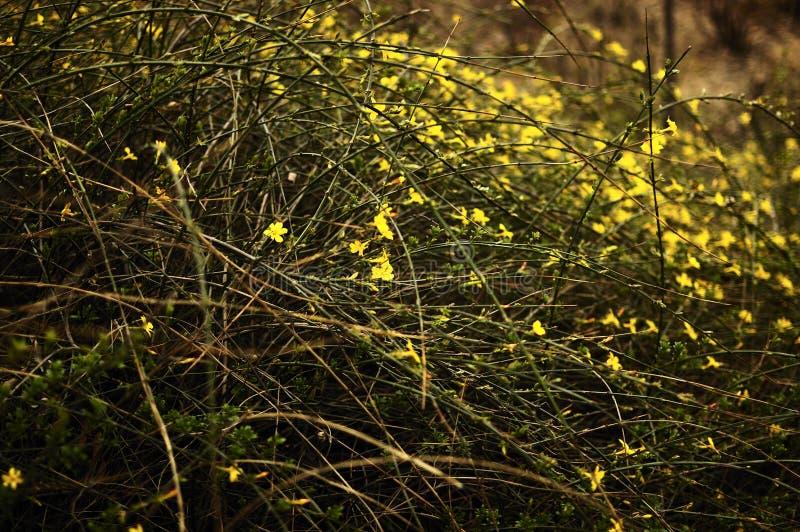 Winter Jasmine stock photo