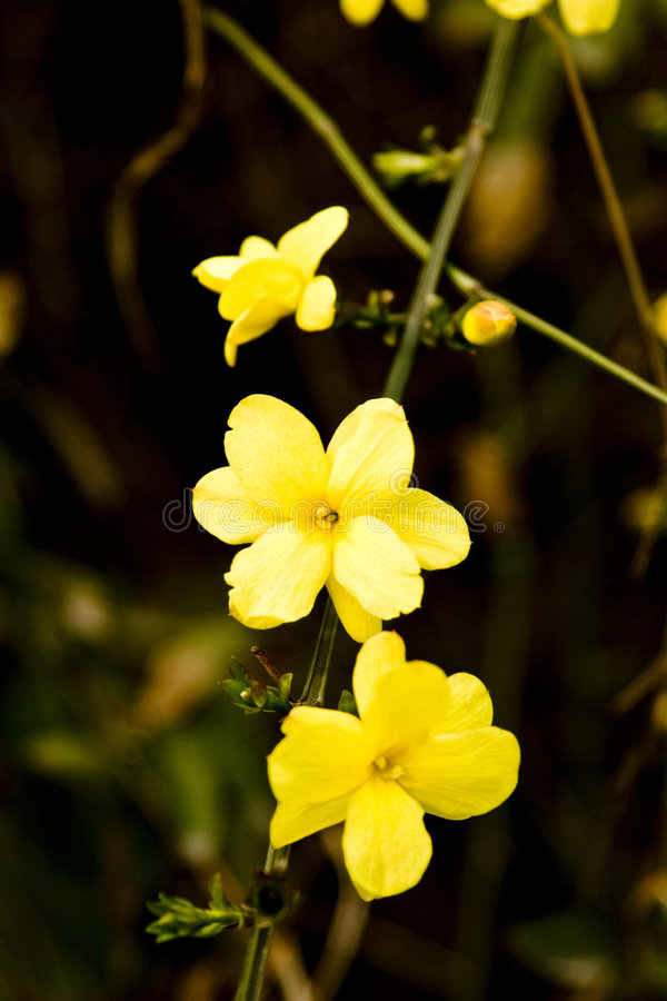 Download Winter jasmine flowers stock image. Image of leaves, spring - 4547313