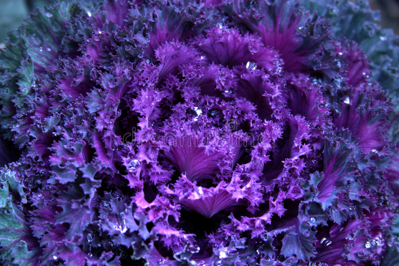 Winter Kale 2 royalty free stock images