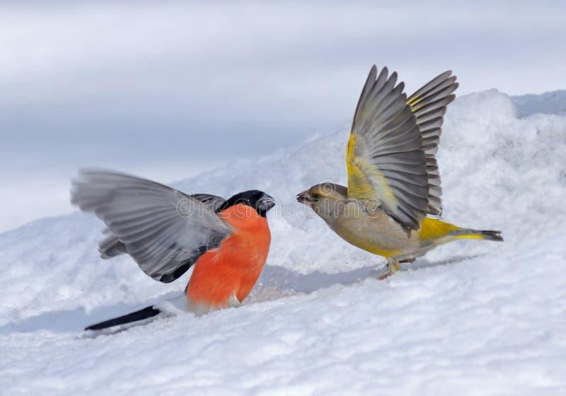 Winter-Kampf von Bullfinch und von Greenfinch lizenzfreie stockfotos