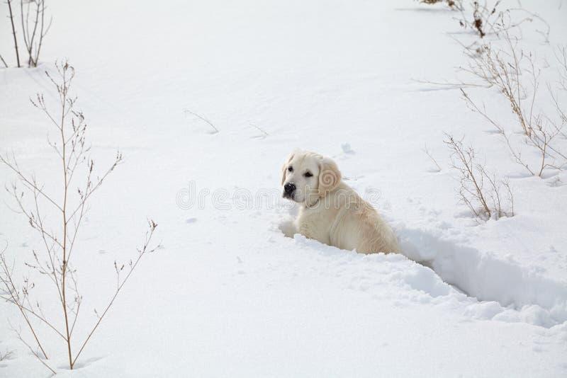 Winter Labrador retriever puppy dog stock photo