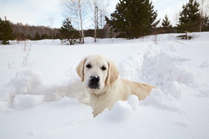 Winter Labrador retriever puppy dog royalty free stock images
