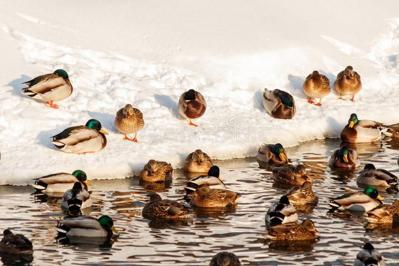 Winter lake with ducks by swans on snow royalty free stock photography