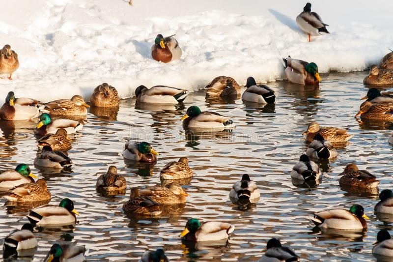 Winter lake with ducks by swans on snow stock image