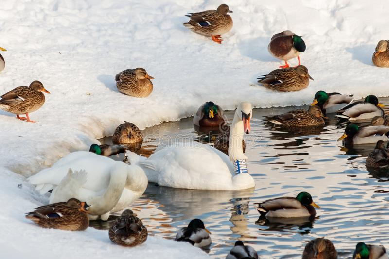 Winter lake with ducks by swans on snow stock images