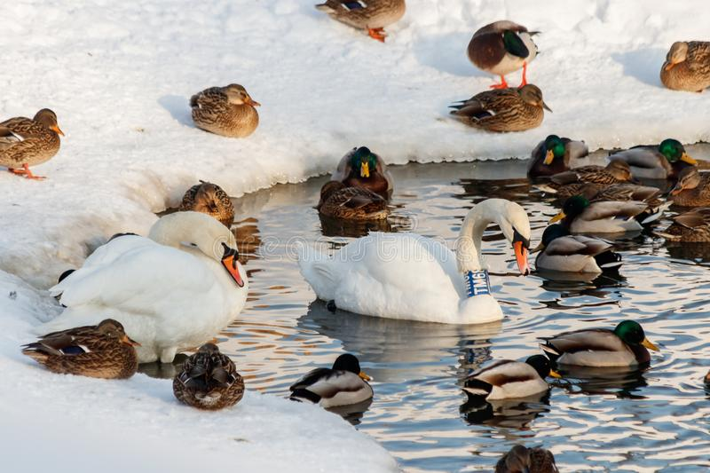 Winter lake with ducks by swans on snow stock photos