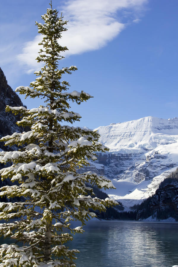 Winter in Lake Louise. Fir tree on the shore of Lake Louise, Alberta in the Canadian Rockies royalty free stock photography