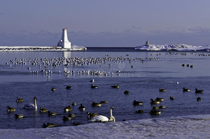 Winter - Lake Ontario. Waterfowl on the ice of Cobourg Harbour face hardship during a difficult winter with colder than normal temperatures and ice on the Great royalty free stock images